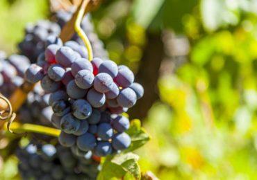 Réchauffement : Bordeaux va tester de nouveaux cépages